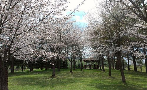2014年常盤公園桜1