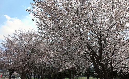 2014年常盤公園桜2